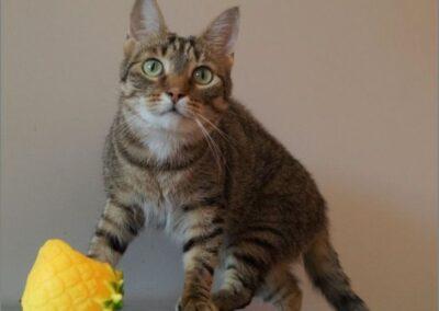 FILIP MILOU z Rogowa (kot domowy)