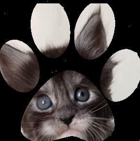 Kocięta rasy Maine Coon